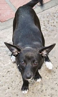 Terrier (Unknown Type, Small)/Whippet Mix Dog for adoption in Seward, Alaska - Skittles