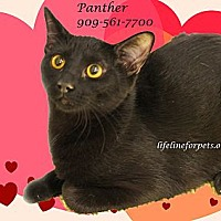 Adopt A Pet :: A Young Male: PANTHER - Monrovia, CA