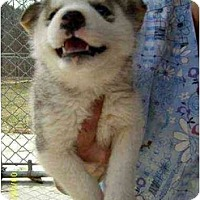 Adopt A Pet :: Spirit - Lincolndale, NY