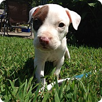 Adopt A Pet :: Gibson - Reisterstown, MD