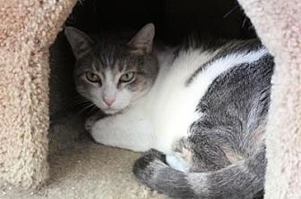 Domestic Shorthair Cat for adoption in Sebastian, Florida - Snacks