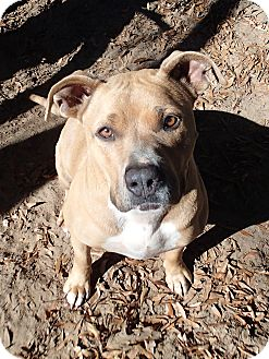 American Pit Bull Terrier Dog for adoption in Ravenel, South Carolina - Fannie May