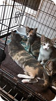 Domestic Mediumhair Kitten for adoption in Land O Lakes, Florida - Willy & Windy