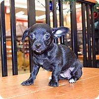 Adopt A Pet :: Kylo - Sacramento, CA