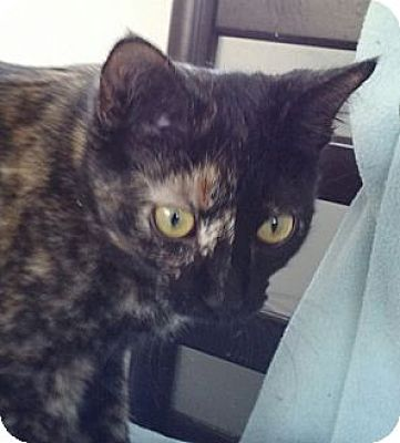 Calico Cat for adoption in San Fernando Valley, California - Gussie