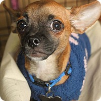 Adopt A Pet :: Cappuchino - Detroit, MI