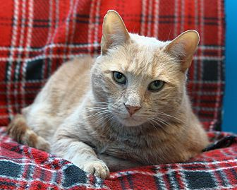 Domestic Shorthair Cat for adoption in Oakland, New Jersey - Ryker