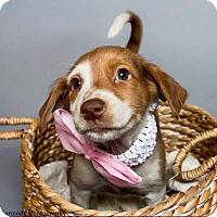 Adopt A Pet :: Tiana - Jacksonville, NC