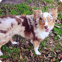 Australian Shepherd Dog for adoption in McKinney, Texas - Newt - Toy/Mini Aussie