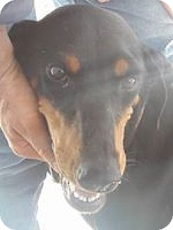 Doberman Pinscher Dog for adoption in El Paso, Texas - Angel