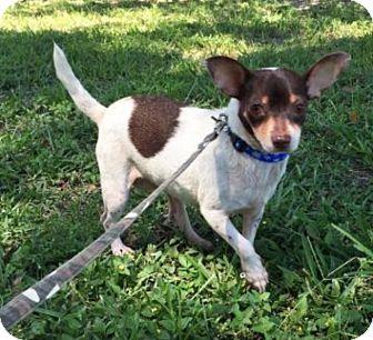 Chihuahua Mix Dog for adoption in Boca Raton, Florida - Tunie