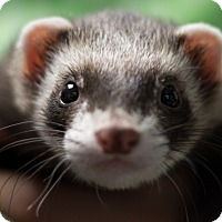 Adopt A Pet :: Banjo - Balch Springs, TX