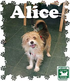Yorkie, Yorkshire Terrier Mix Dog for adoption in Fallston, Maryland - Alice