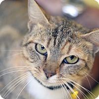Adopt A Pet :: SHIITAKE - LAFAYETTE, LA