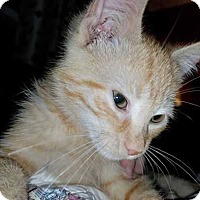 Adopt A Pet :: Gingersnaps - South Bend, IN