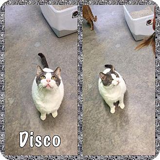 Domestic Shorthair Cat for adoption in Bryan, Ohio - Disco