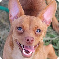 Adopt A Pet :: Sienna - S. Pasedena, FL