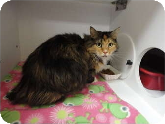 Domestic Mediumhair Cat for adoption in Kingston, Washington - Hailey