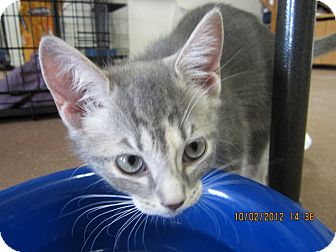 Calico Kitten for adoption in Bunnell, Florida - Queenie