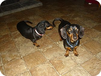 Dachshund Dog for adoption in Lawndale, North Carolina - Dixie and Scootie (bonded pair
