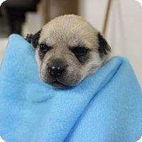 Adopt A Pet :: Gibson - Brattleboro, VT