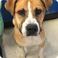 Adopt A Pet :: Bosco-in CT - East Hartford, CT