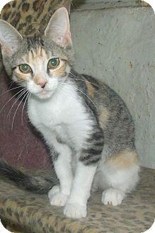 Domestic Shorthair Kitten for adoption in Acme, Pennsylvania - TRUDY