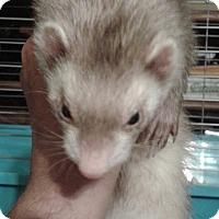 Adopt A Pet :: Dusty - Aurora, IL