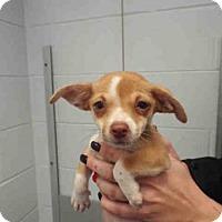 Adopt A Pet :: LULU BEE - Pearland, TX