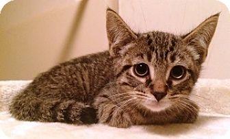 Domestic Shorthair Kitten for adoption in Lebanon, Pennsylvania - Zander