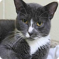 Domestic Mediumhair Cat for adoption in Brewster, Massachusetts - MEOWY CYRUS