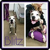 Adopt A Pet :: Blitz - Steger, IL