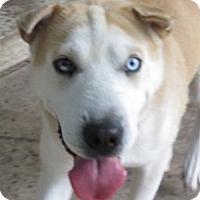 Adopt A Pet :: Saphira - St Petersburg, FL