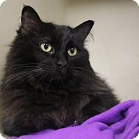 Adopt A Pet :: Satine - Saanichton, BC
