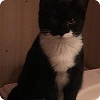 Adopt A Pet :: Marshmallow - O'Fallon, MO