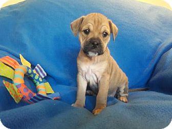 Dachshund Mix Puppy for adoption in Alpharetta, Georgia - Lumi