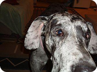 Great Dane Dog for adoption in Phoenix, Arizona - Harlow
