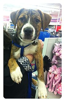 Bernese Mountain Dog Mix Puppy for adoption in Louisville, Kentucky - Tango