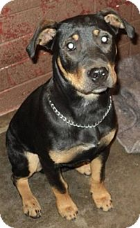 Rottweiler Mix Dog for adoption in Phoenix, Arizona - Bullet