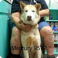 Adopt A Pet :: Mercury - baltimore, MD