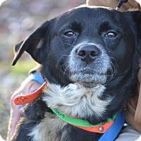 Adopt A Pet :: Tank - Albemarle, NC
