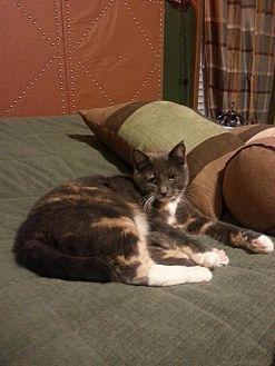 Domestic Shorthair Cat for adoption in Brainardsville, New York - Echo