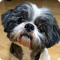 Adopt A Pet :: Captain Sully - Euless, TX