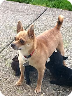 Chihuahua Mix Dog for adoption in Salem, Oregon - Fawna