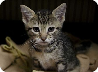 Domestic Shorthair Kitten for adoption in San Angelo, Texas - Avery