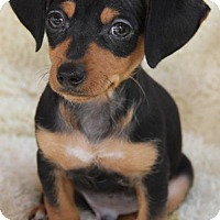 Adopt A Pet :: Chappie - Westminster, MD