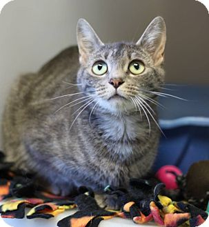 Domestic Shorthair Cat for adoption in South Haven, Michigan - Ellie