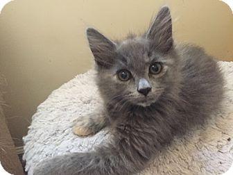 Domestic Mediumhair Kitten for adoption in Woodland Hills, California - Anya