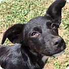 Adopt A Pet :: Sparkle aka Sparky puppy