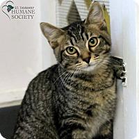 Domestic Mediumhair Kitten for adoption in Covington, Louisiana - Haken